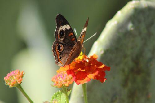 Common Buckeye Landed On Lantana