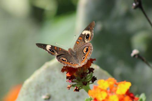 Common Buckeye Opening Its Wings