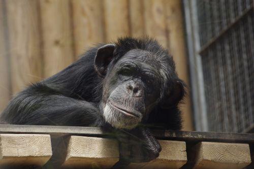 common chimpanzee great ape chimpanzee