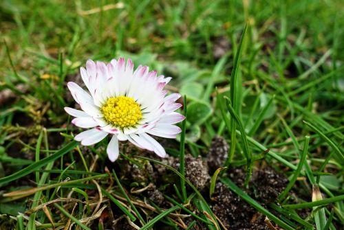 common daisy lawn daisy daisy