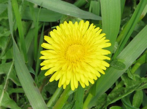 common dandelion taraxacum officinale lawn weed