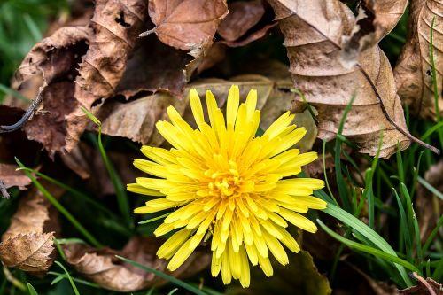 common dandelion taraxacum sect ruderalia