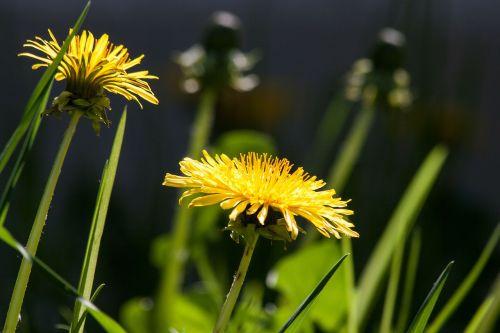 paprastoji kiaulpienė,kiaulpienė,gėlė,budas,taraxacum,ruderalia,kompozitai,asteraceae,gėlės,žiedas,žydėti,geltona,aštraus gėlė,augalas,pavasaris,vasara,bičių ganyklų augalas,bitės,natūralus augalas,vaistinis augalas