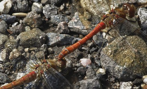 common darter dragonfly odonata