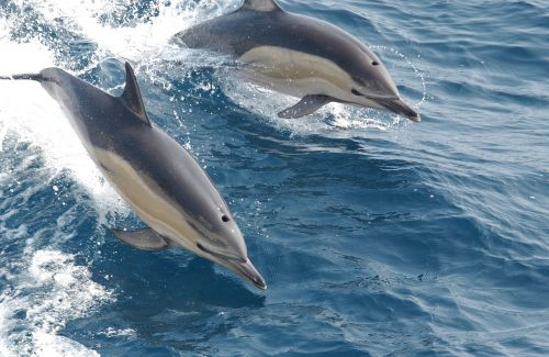 common dolphins swimming ocean