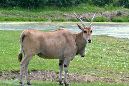 common eland  herbivore  zoo animal