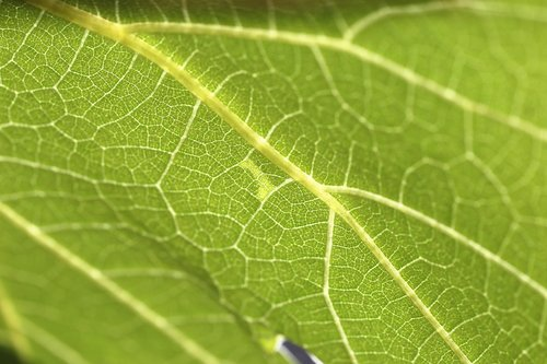 common grape vine  vitis vinifera  leaf