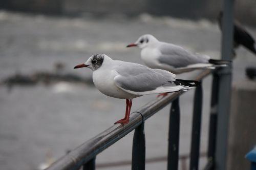 common gull bird gull