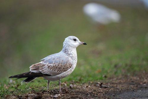 common gull  larus canus  bird