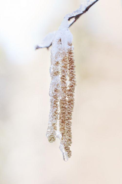 common hazel hazel branch
