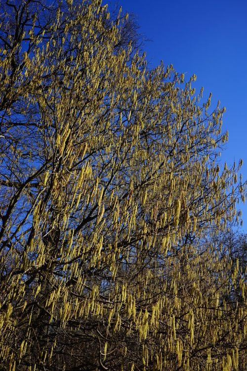 common hazel inflorescences male blossom