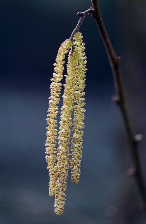 common hazel corylus avellana male flower catkins