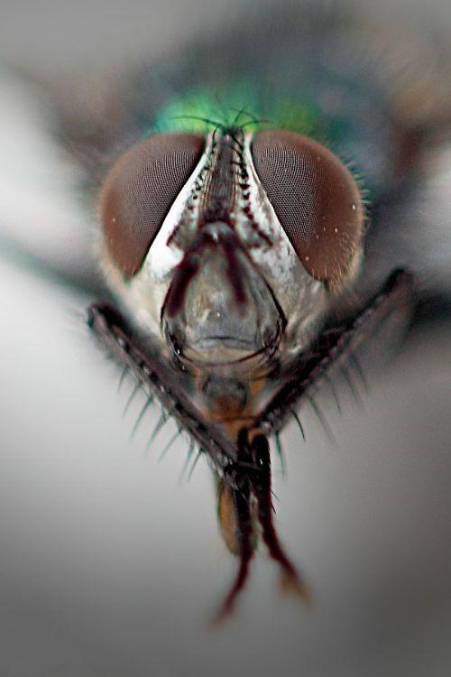 common housefly compound eyes macro