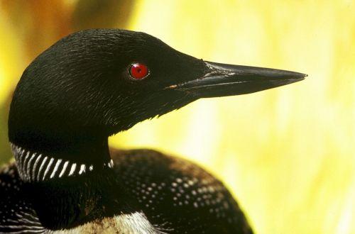 common loon bird wildlife