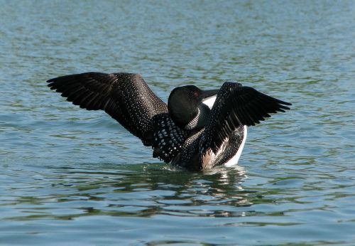 common loon great norther diver gavia immer