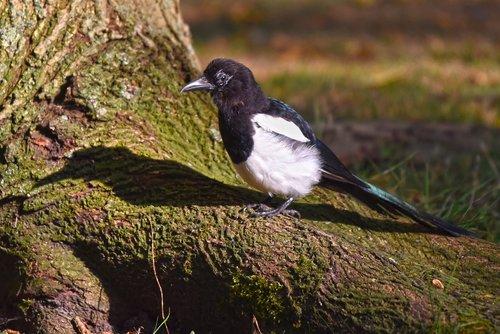 common magpie  bird  corvidae