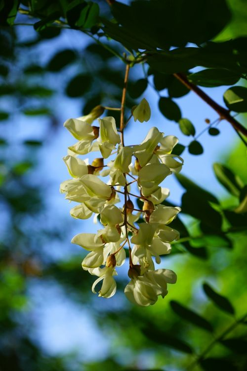 common maple robinia flowers