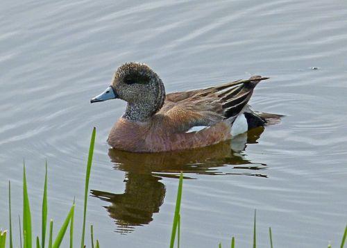 common merganser duck waterbird