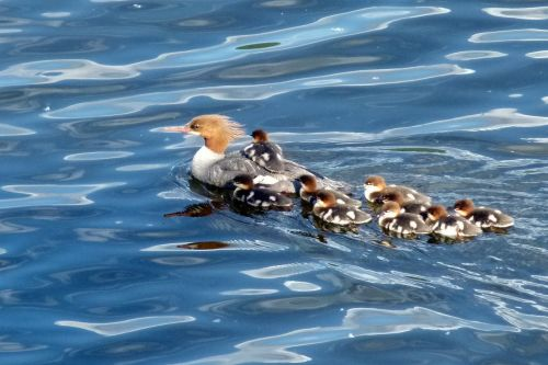 common merganser brood offspring