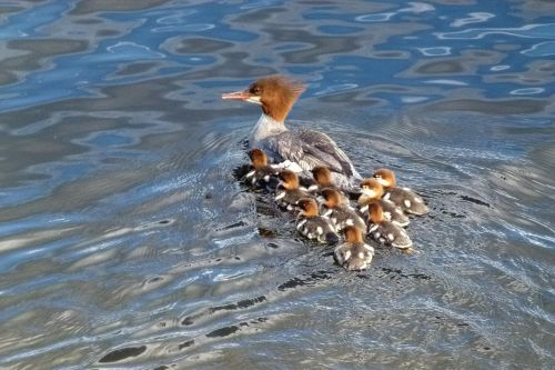 common merganser waterbirds brood