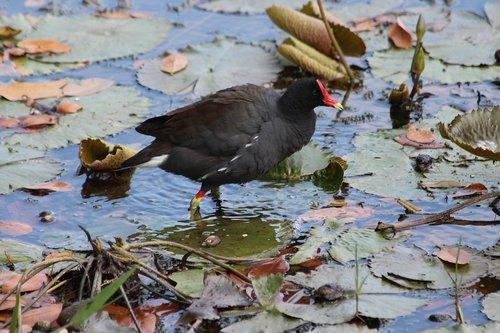 common moorhen  marsh hen  bird