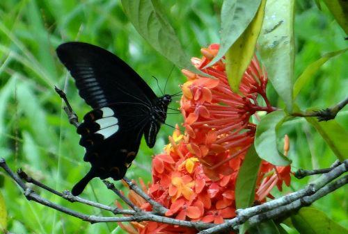 common mormon butterfly papilio polytes