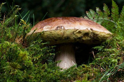 common mushroom boletus edulis mushroom