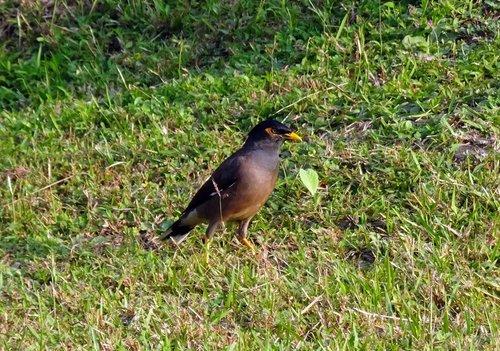 common myna  indian myna  bird