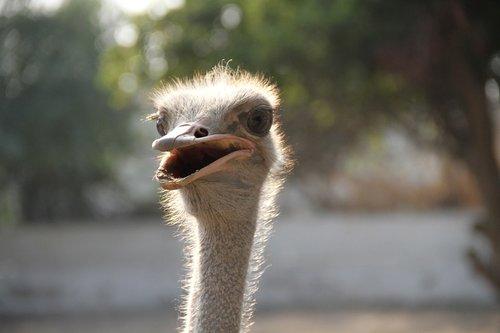 common ostrich  bird  ostrich
