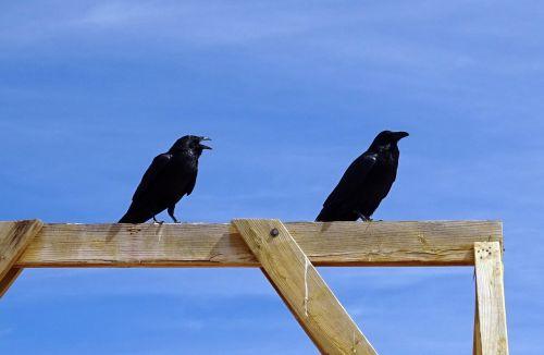 common raven corvus corax northern raven