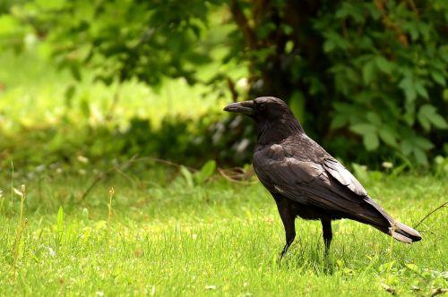 common raven raven bird plumage
