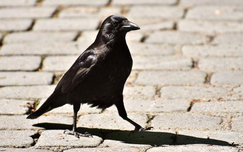 common raven raven raven bird