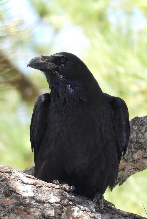 common raven  raven bird  songbird
