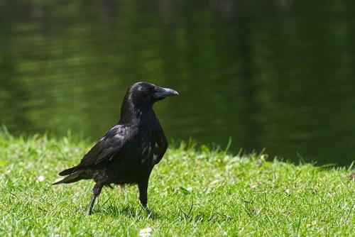 common raven  raven  crow