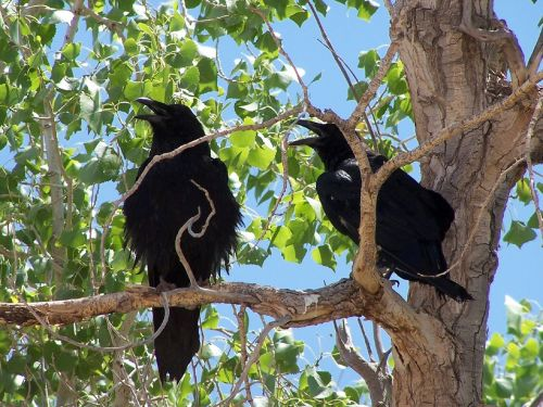 common ravens blackbirds corvus