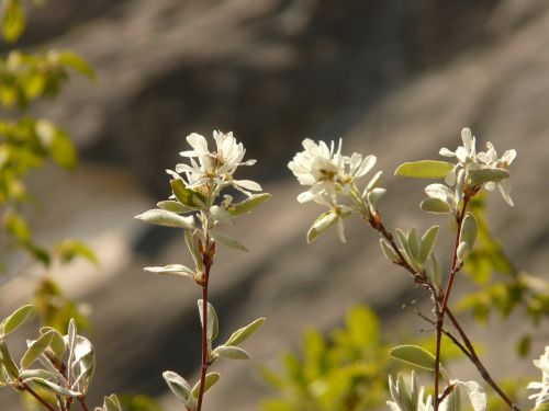 common rock pear amelanchier rose greenhouse