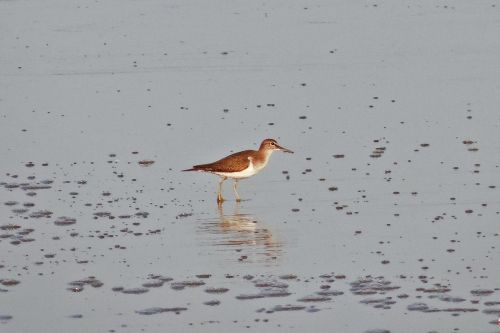 common sandpiper bird beach