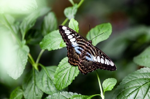 common sergeant butterfly  common sergeant  butterfly resting
