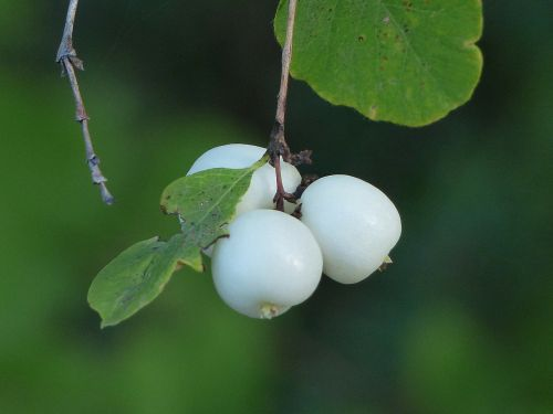common snowberry berries white