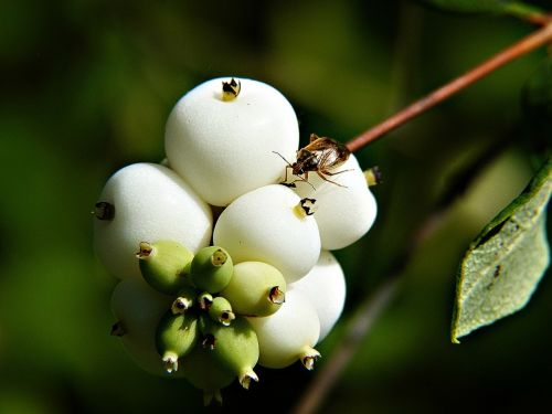 common snowberry symphoricarpas albus toy torpedo