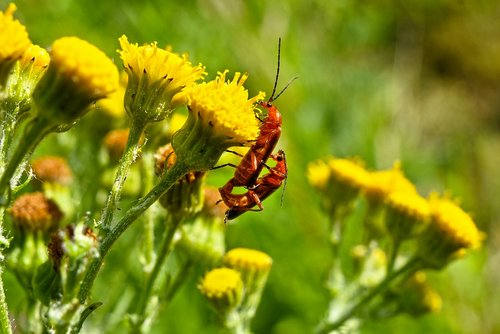 common soldier beetle  insect  animal