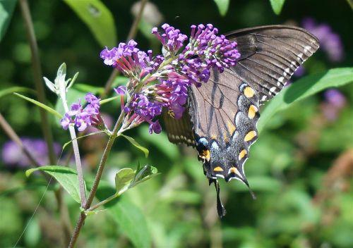 black swallowtail butterfly butterfly bush butterfly