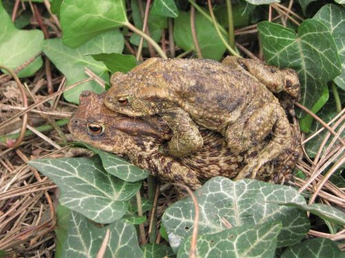 common toad european toad breeding