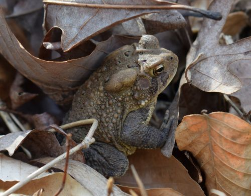 common toad toad amphibian