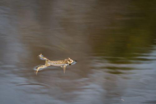 common toad amphibian animal