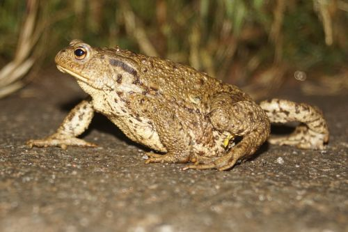 common toad toad animal world