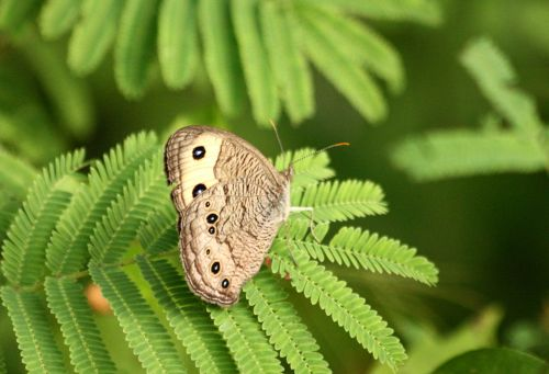 Common Wood Nymph On Mimosa