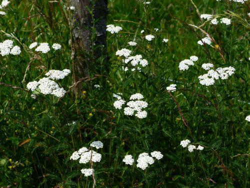 common yarrow yarrow blossom