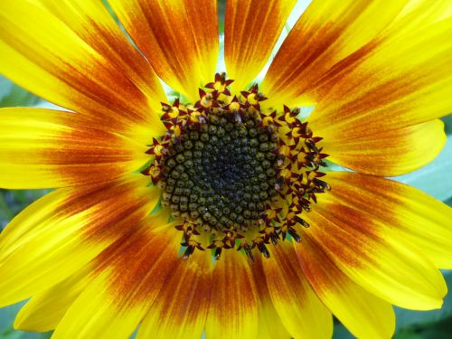 composites sun flower seeds