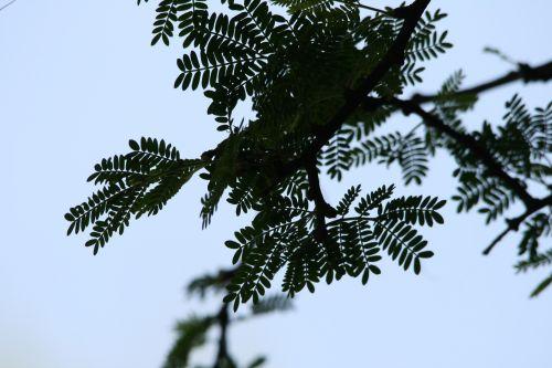 Compound Leaf With Leaflets